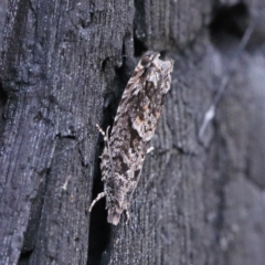Holocola triangulana (A Tortricid moth) at Dryandra St Woodland - 23 Feb 2021 by ConBoekel