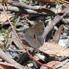 Candalides hyacinthina (Varied Dusky-blue) at O'Connor, ACT - 23 Feb 2021 by ConBoekel