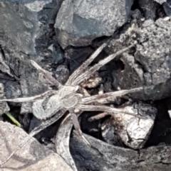 Argoctenus sp. (genus) (Wandering ghost spider) at Black Mountain - 27 Apr 2021 by tpreston