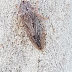 Stenocotis sp. (genus) (A Leafhopper) at Black Mountain - 27 Apr 2021 by tpreston