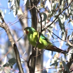 Lathamus discolor (Swift Parrot) at Callum Brae - 26 Apr 2021 by davidcunninghamwildlife