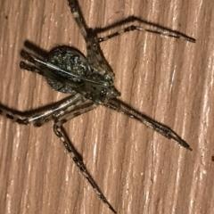 Cryptachaea gigantipes (White porch spider) at Greenleigh, NSW - 25 Apr 2021 by LyndalT