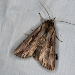 Persectania ewingii at Deua National Park (CNM area) - 16 Apr 2021
