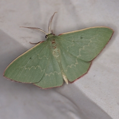 Prasinocyma undescribed species MoV1 (An Emerald moth) at Deua National Park (CNM area) - 16 Apr 2021 by ibaird