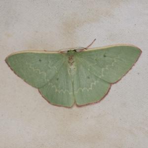 Prasinocyma undescribed species MoV1 at Deua National Park (CNM area) - 16 Apr 2021