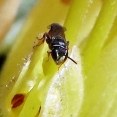 Hylaeus (Prosopisteron) littleri (Hylaeine colletid bee) at ANBG - 27 Apr 2021 by dimageau