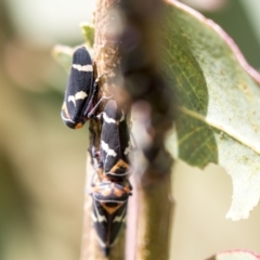 Eurymeloides pulchra (Gumtree hopper) at Holt, ACT - 30 Mar 2021 by AlisonMilton