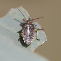 Oechalia schellenbergii (Spined Predatory Shield Bug) at Holt, ACT - 30 Mar 2021 by AlisonMilton
