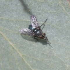 Chlorotachina sp. (genus) (TBC) at Holt, ACT - 30 Mar 2021 by AlisonMilton