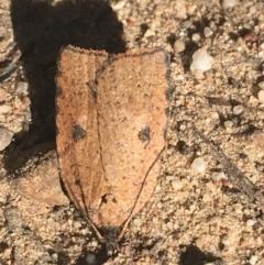 Meritastis polygraphana (Mottled Bell Moth) at Downer, ACT - 27 Apr 2021 by Ned_Johnston