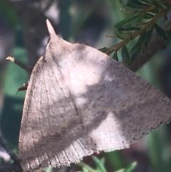 Epidesmia chilonaria (Golden-winged Epidesmia) at Black Mountain - 27 Apr 2021 by Ned_Johnston