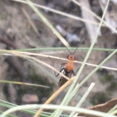 Braconidae sp. (family) (Unidentified braconid wasp) at Black Mountain - 27 Apr 2021 by Ned_Johnston