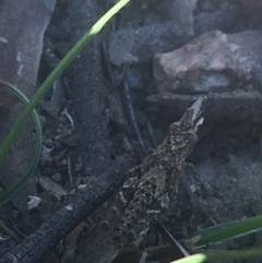 Coryphistes ruricola (Bark grasshopper) at Black Mountain - 26 Apr 2021 by Ned_Johnston