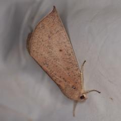 Mnesampela heliochrysa at Deua National Park (CNM area) - 16 Apr 2021