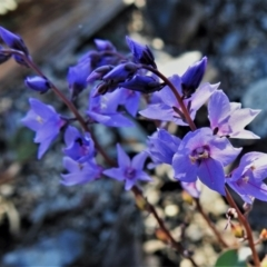 Veronica perfoliata at Namadgi National Park - 27 Apr 2021