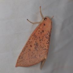 Plesanemma fucata at Deua National Park (CNM area) - 16 Apr 2021