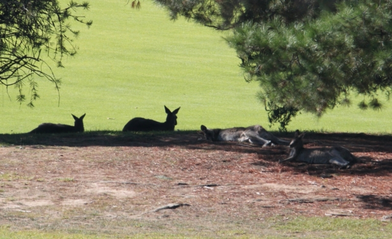 Macropus giganteus at Albury Golf Course - 27 Apr 2021