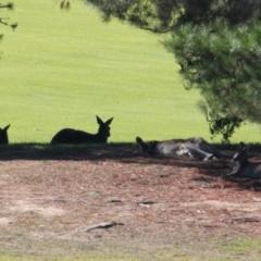 Macropus giganteus (Eastern Grey Kangaroo) at Albury Golf Course - 27 Apr 2021 by PaulF