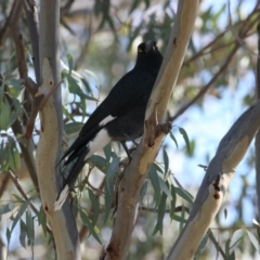 Strepera graculina (Pied Currawong) at Albury Golf Course - 27 Apr 2021 by PaulF