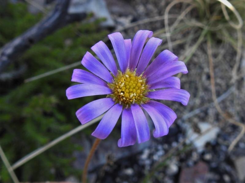 Calotis scabiosifolia var. integrifolia at Namadgi National Park - 27 Apr 2021