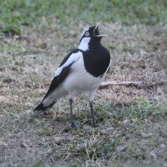 Grallina cyanoleuca (Magpie-Lark) at Albury Golf Course - 27 Apr 2021 by PaulF