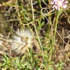 Vittadinia cuneata var. cuneata (Fuzzy New Holland Daisy) at Mount Painter - 25 Apr 2021 by drakes