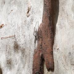 Tamopsis sp. (genus) (Two-tailed spider) at Dryandra St Woodland - 23 Feb 2021 by ConBoekel