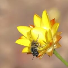 Lasioglossum (Chilalictus) sp. (genus & subgenus) (Halictid bee) at Dryandra St Woodland - 23 Feb 2021 by ConBoekel