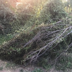 Anredera cordifolia at suppressed - 9 Apr 2021