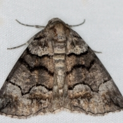 Dysbatus undescribed species (A Line-moth) at Melba, ACT - 10 Jan 2021 by Bron