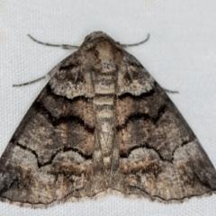 Dysbatus undescribed species (A Line-moth) at Melba, ACT - 10 Jan 2021 by Bron