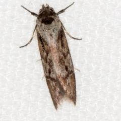 Oenochroa dinosema (A Concealer moth) at Melba, ACT - 11 Jan 2021 by Bron