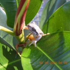 Litoria peronii (TBC) at Brogo, NSW - 1 Apr 2021 by libbygleeson