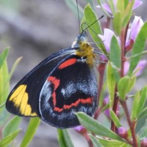 Delias nigrina (Black Jezebel) at Brogo, NSW by libbygleeson