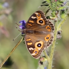 Junonia villida (Meadow Argus) at Namadgi National Park - 27 Apr 2021 by RodDeb