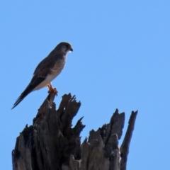 Falco cenchroides (Nankeen Kestrel) at Lanyon - northern section - 27 Apr 2021 by RodDeb