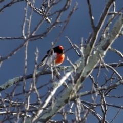 Petroica goodenovii (Red-capped Robin) at Tennent, ACT - 27 Apr 2021 by RodDeb