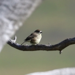 Aphelocephala leucopsis (Southern Whiteface) at Tennent, ACT - 27 Apr 2021 by RodDeb