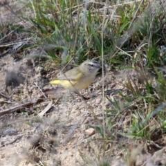 Acanthiza chrysorrhoa (Yellow-rumped Thornbill) at Namadgi National Park - 27 Apr 2021 by RodDeb