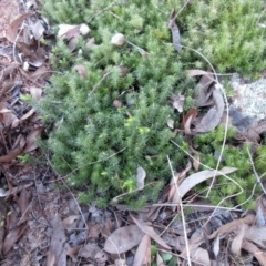 Acrotriche serrulata (Ground-berry) at Holt, ACT - 27 Apr 2021 by sangio7