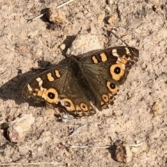Junonia villida (Meadow Argus) at Tuggeranong Hill - 28 Apr 2021 by KMcCue