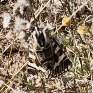 Apina callisto at Theodore, ACT - 28 Apr 2021