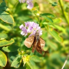 Hesperiidae (family) (TBC) at Molonglo Valley, ACT - 28 Apr 2021 by Dominique