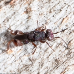 Chalcididae sp. (family) (Unidentified chalcid wasp) at Mulligans Flat - 28 Apr 2021 by Roger