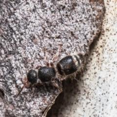 Ephutomorpha sp. (genus) (TBC) at Mulligans Flat - 28 Apr 2021 by Roger