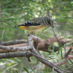 Pardalotus punctatus (Spotted Pardalote) at Cook, ACT - 28 Apr 2021 by dwise
