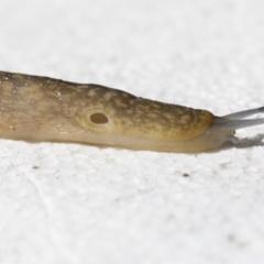 Limacus flavus (Yellow Cellar Slug) at Higgins, ACT - 26 Apr 2021 by AlisonMilton