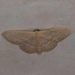 Scopula optivata (Varied Wave) at Deua National Park (CNM area) - 16 Apr 2021 by ibaird