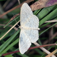 Scopula optivata at Deua National Park (CNM area) - 16 Apr 2021