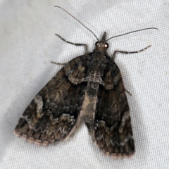 Microdes asystata (A Geometer moth) at Deua National Park (CNM area) - 16 Apr 2021 by ibaird